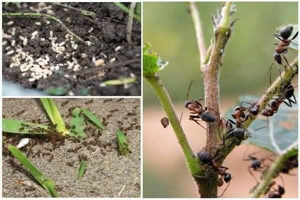 От муравьев народные средства в огороде. как избавиться от муравьев в саду и огороде народными средствами?