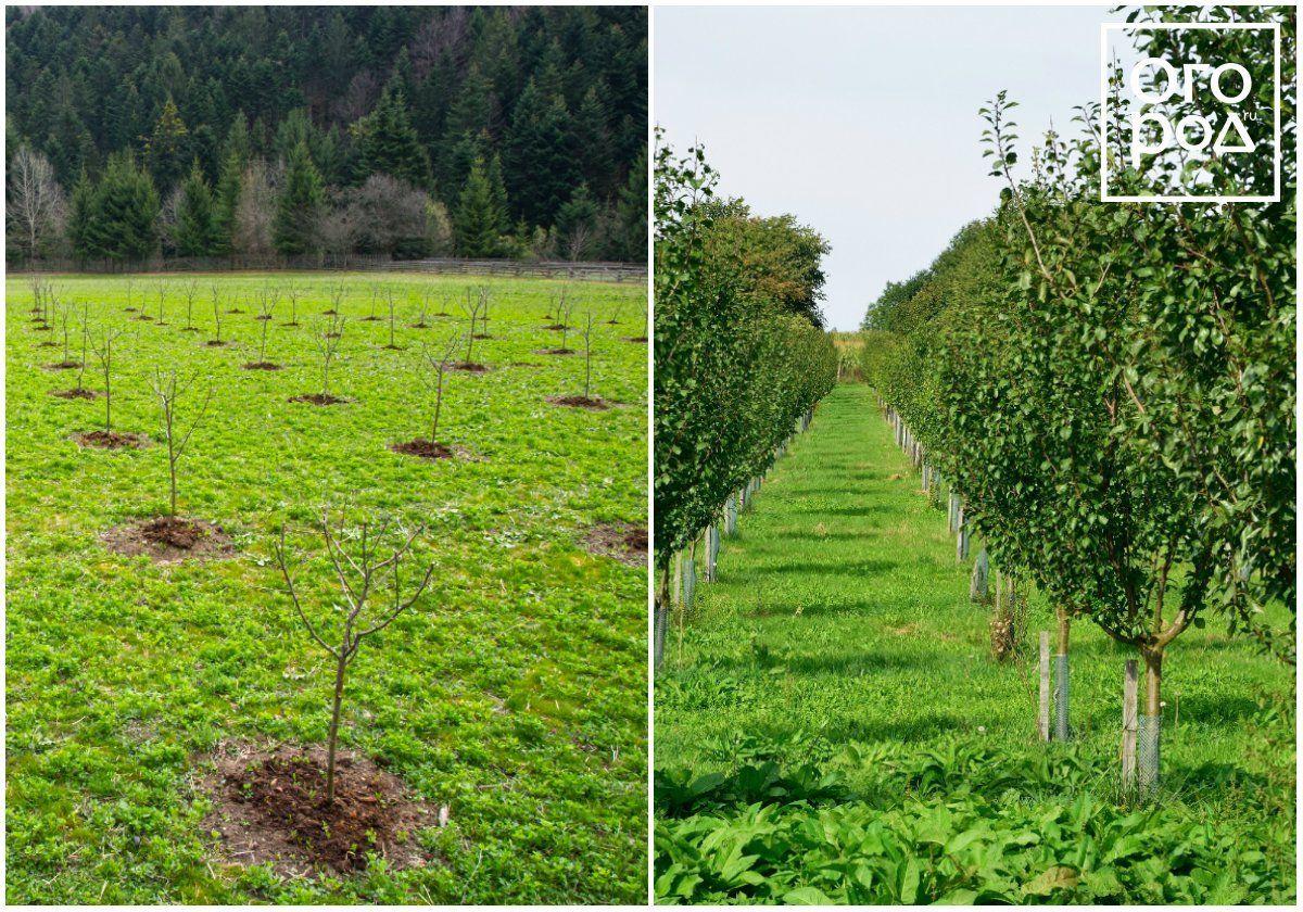 Как правильно посадить яблоню осенью   дом-дача-сад