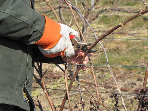как приготовить виноград к зимовке
