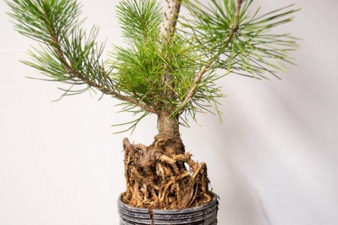 Сосна (99 фото): корневая система, сколько лет живет и растет? как выглядят саженцы? высота дерева. описание хвои и веток. плюсы и минусы, примеры на участке