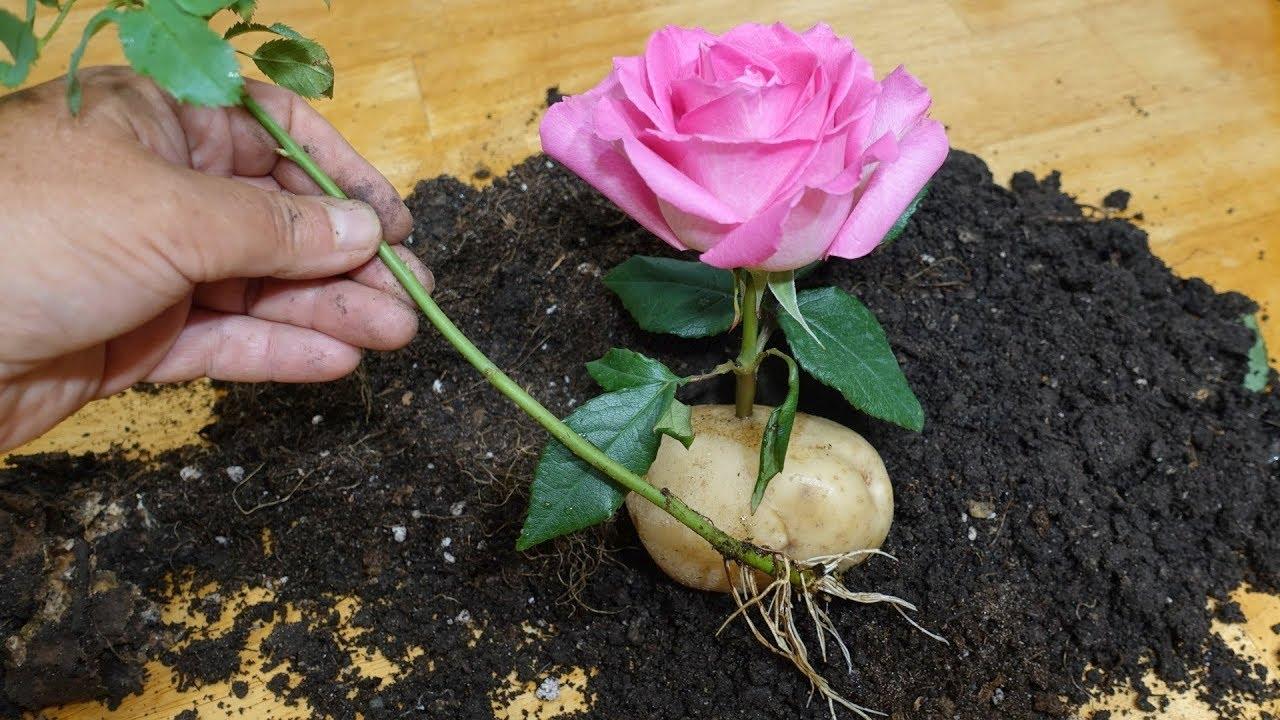 как прорастить розу в картошке