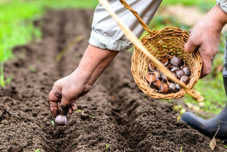 Посадка чеснока под зиму от а до я - когда и как сажать чеснок осенью, сроки и правила - почва.нет