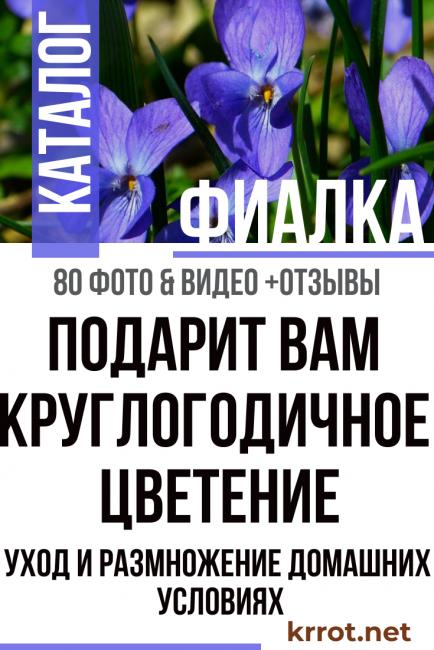 сообщение о комнатном растении фиалка
