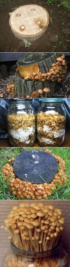 Выращивание шампиньонов в домашних условиях. как вырастить шампиньоны в подвале: подготовка компоста, высадка мицелия, уход за грибами и сбор урожая
