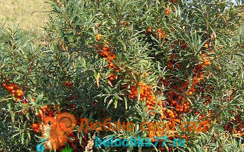 Правила посадки облепихи, как различить и разместить мужские и женские растения
