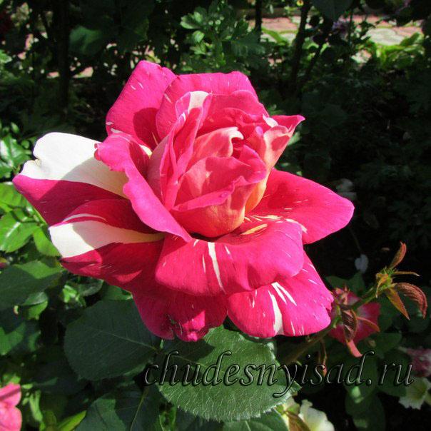 роза поэзия фото и описание отзывы