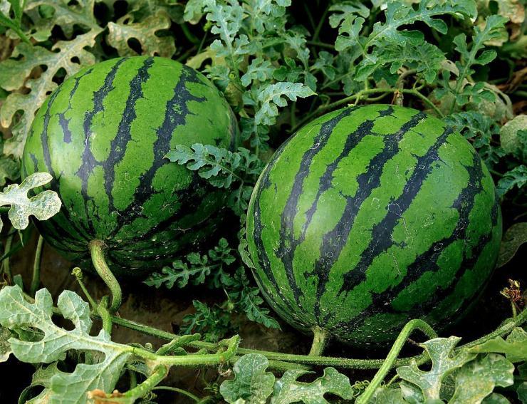 Как вырастить арбуз: простая пошаговая инструкция по посадке и выращиванию бахчевых на огороде (видео и 110 фото)