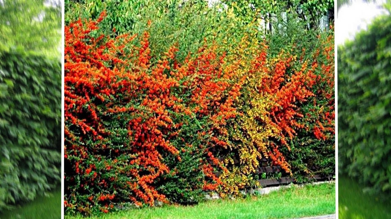 цветущие лианы для сада фото и названия