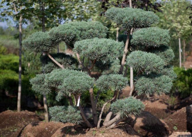 Бонсай: особенности культуры, можжевеловый, как сажать, поливать, обрезать, садовый, ниваки, выбор растений