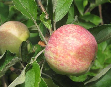 Сорта яблок: лучшие летние, осенние и зимние. старинные и новые сорта
