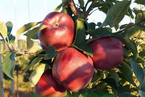 Сорта декоративных яблонь: недзвецкого, роялти, китайка, макамик и другие | огородники