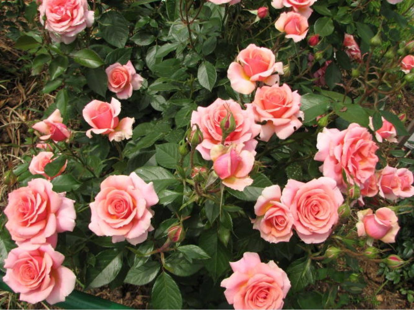 роза поэзия фото