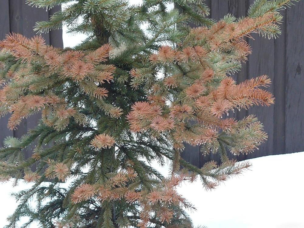Сосна — виды и сорта. выращивание. фото — ботаничка.ru