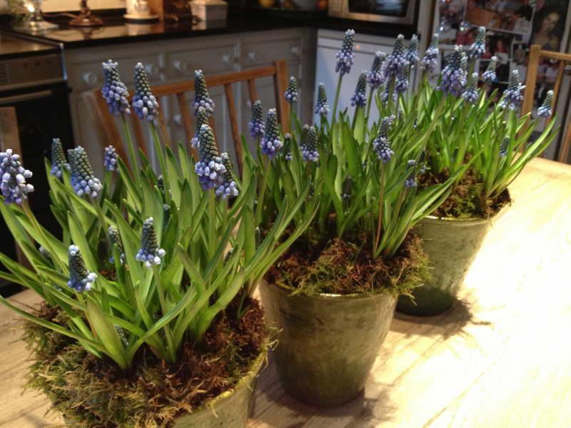 Как посадить и ухаживать за цветами мускари в открытом грунте: полив, удобрение