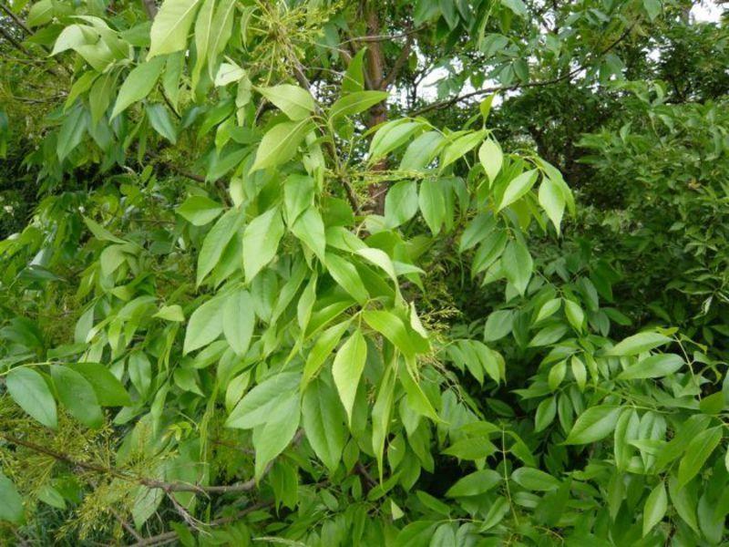Ясень: свойства, высота и описание дерева