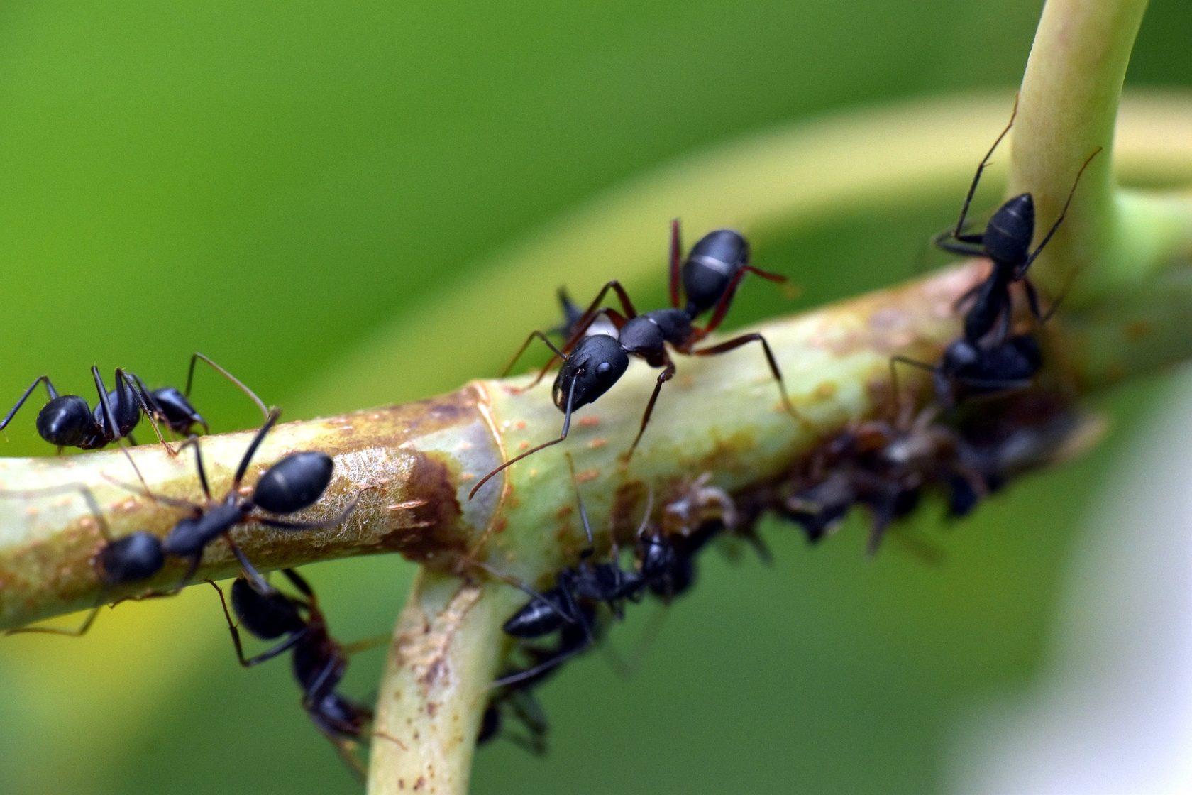 Как избавиться от муравьёв в огороде навсегда в теплице и квартире
