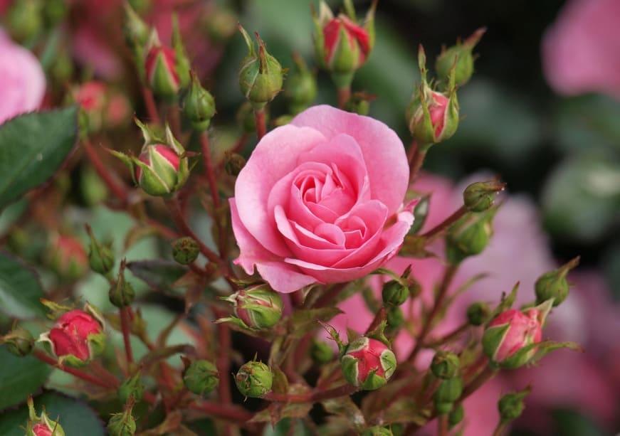 Уход за розами осенью и их подготовка к зиме: плетистых, кустовых, парковых, флорибунда