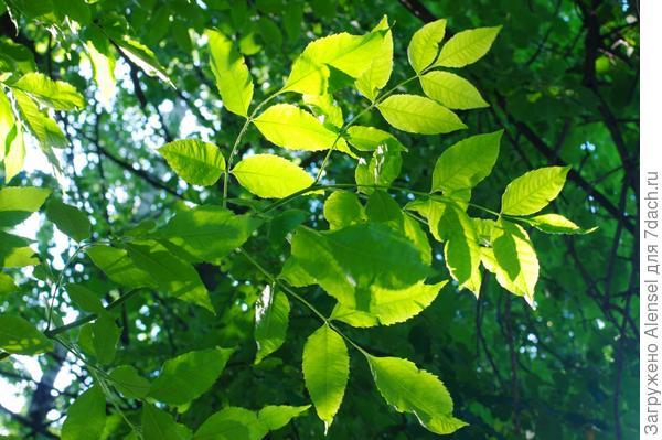 ясень дерево фото листьев и семян