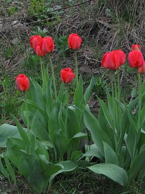 что посадить с тюльпанами