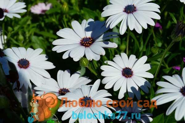 Остеоспермум: посадка, уход, выращивание из семян в открытом грунте, фото и названия сортов