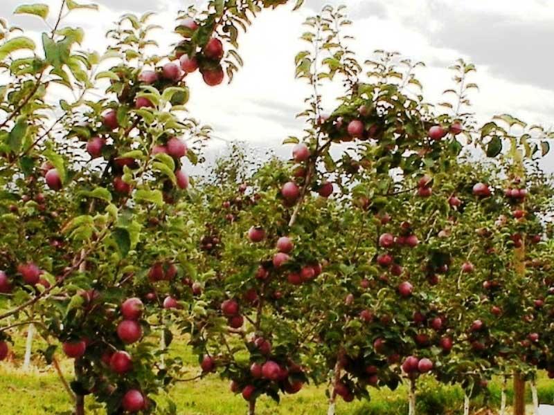 Подкормка осенью яблони в сибири. для чего нужна осенняя подкормка яблони