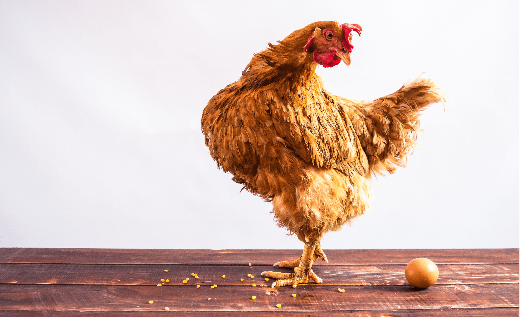 Содержание кур: советы по выбору условий и нормы выращивания кур (видео и 95 фото)
