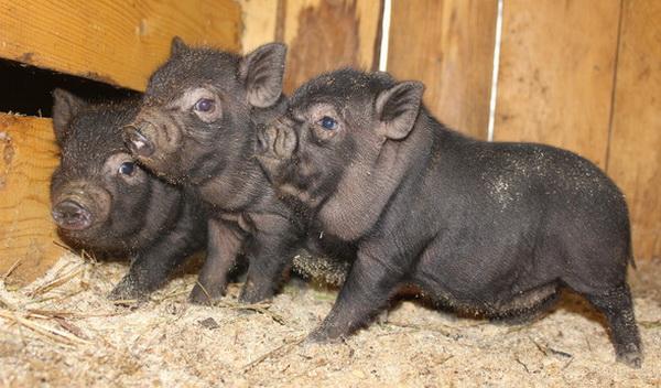 Вьетнамская свинья. описание, особенности, виды и разведение вьетнамских свиней