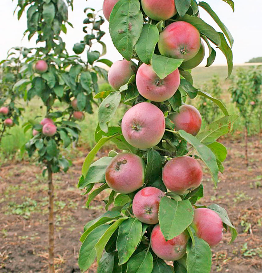 Зимние сорта яблонь: лучшие зимостойкие сорта с длительным сроком хранения плодов