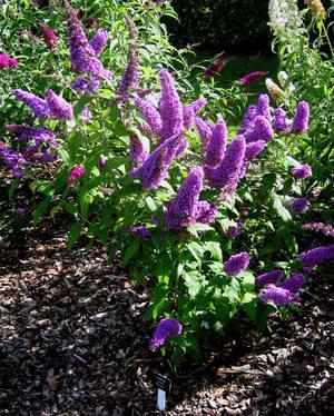 Будлея давида (осенняя сирень) – выращивание и уход в саду, буддлея из семян и размножение черенками | мир садоводства