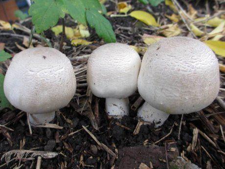Инструкция по выращиванию грибов шампиньонов в домашних условиях