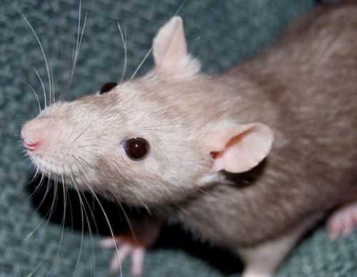 живут ли мыши в минвате