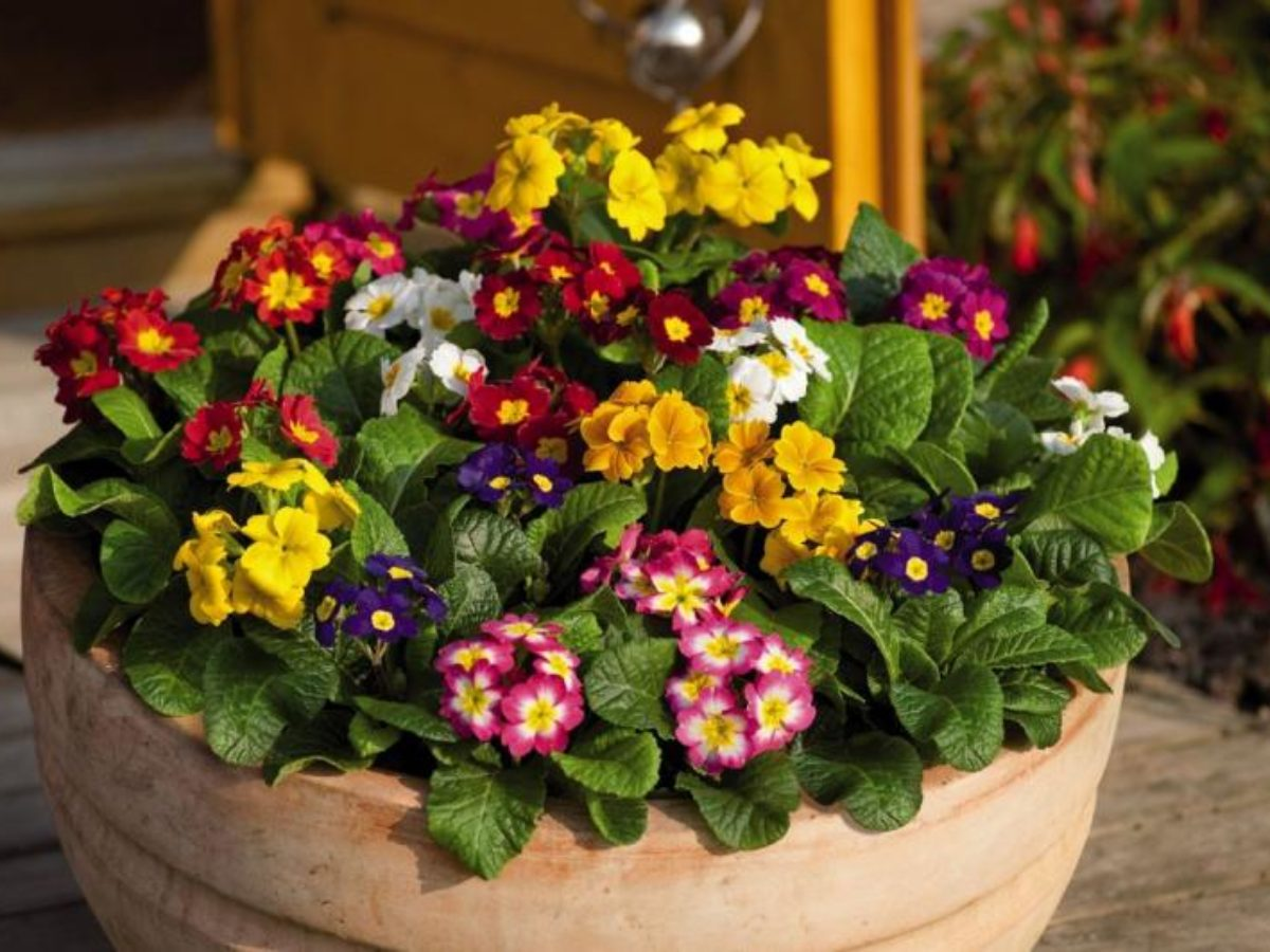 Примула: уход за цветком в домашних условиях :: инфониак