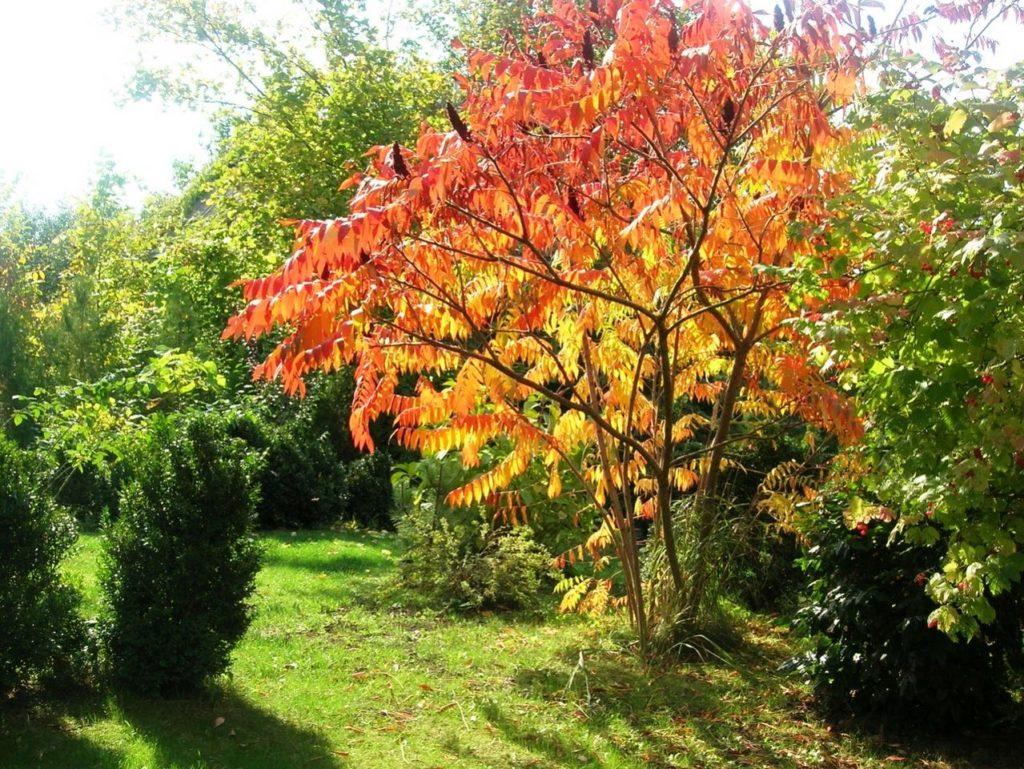 Сумах оленерогий: особенности уксусного дерева, применение в народной медицине, фармацевтике и кулинарии
