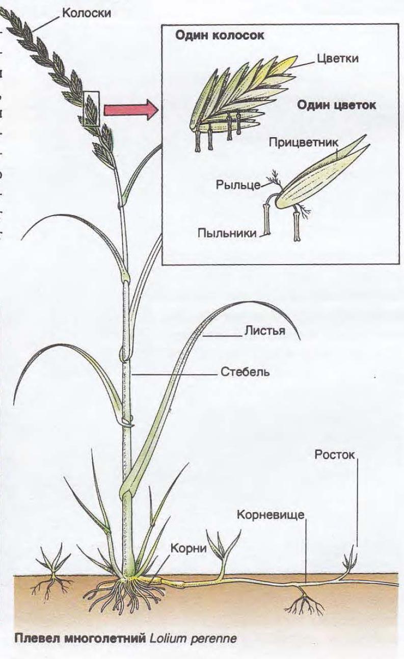Семейство злаки – плод, цветок, культурные растения (6 класс)