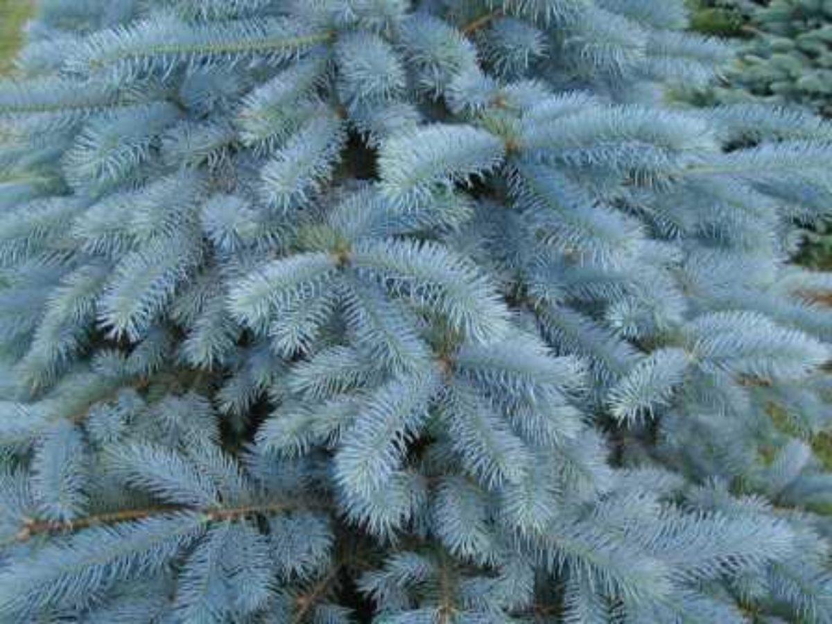 Как вырастить голубую ель из семян? посадка, выращивание, размножение. мастер-класс. фото — ботаничка.ru