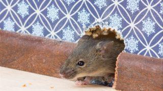 Мыши в стенах: как избавиться от вредителей 2020