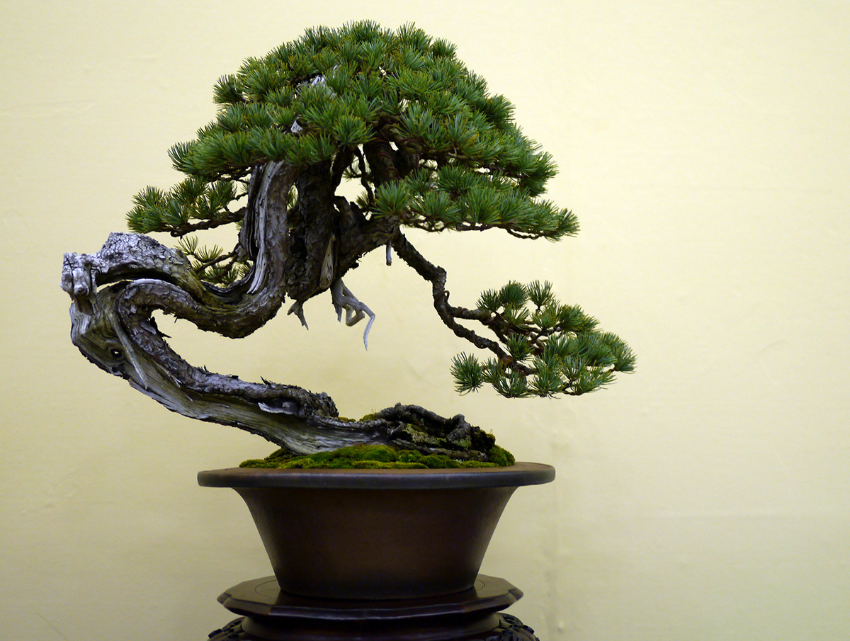 Растение сакура: описание дерева и его разновидностей