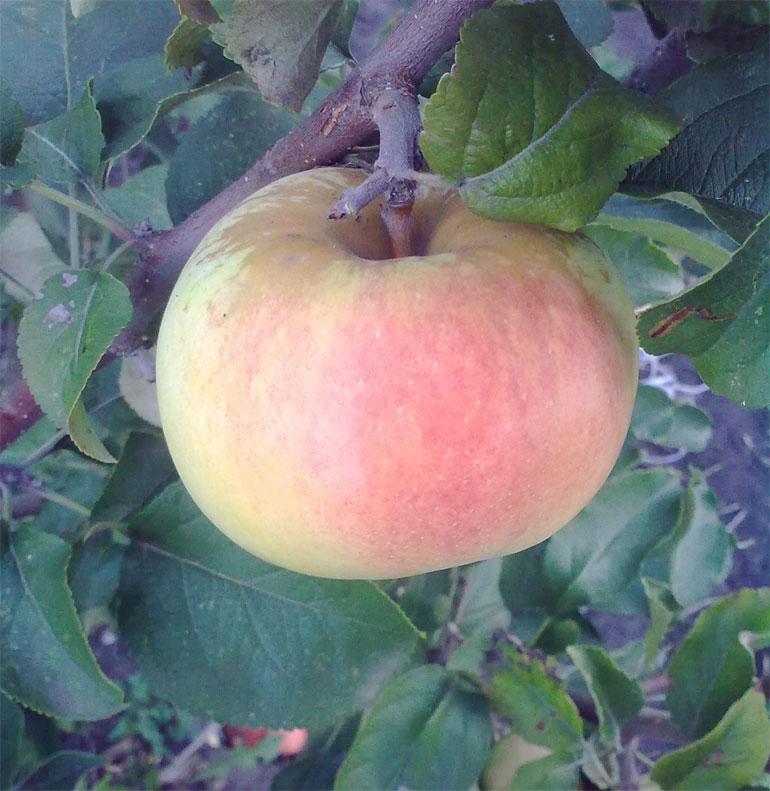 8 зимних сортов яблонь: лучшие морозостойкие