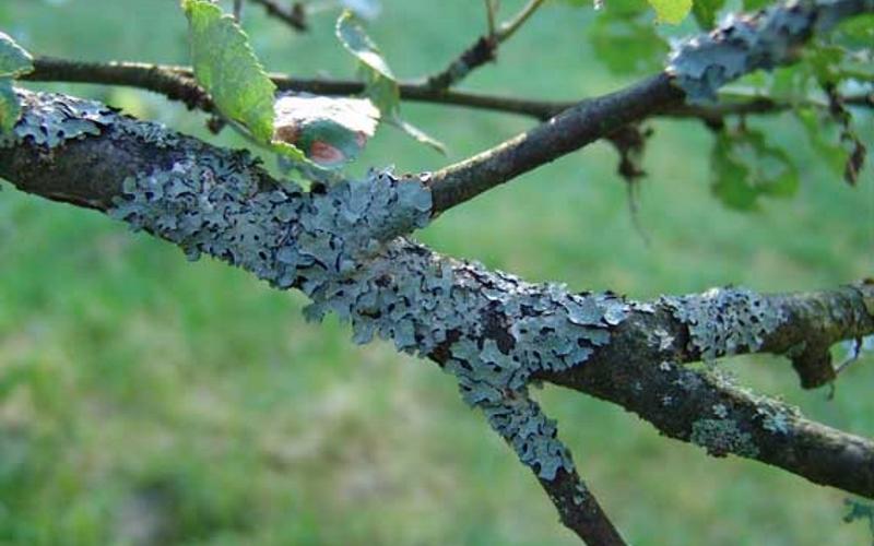 Лишайники на деревьях. как от них избавиться и надо ли? фото — ботаничка.ru