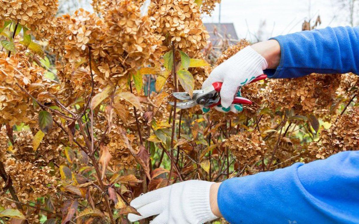 как правильно обрезать гортензию метельчатую на зиму