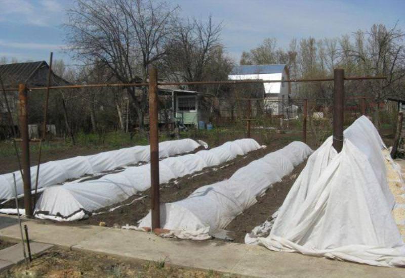 Осенняя подготовка винограда и укрытие его на зиму