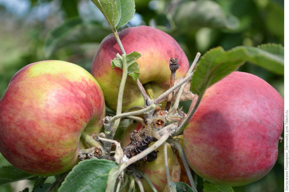 Зимние сорта яблони для средней полосы россии: лучшие виды, их описание и особенности, а также правила ухода selo.guru — интернет портал о сельском хозяйстве