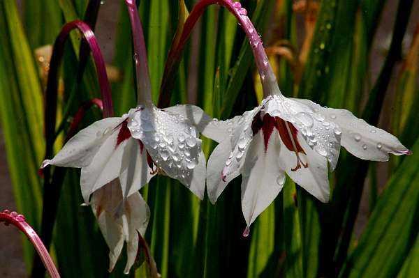 Многолетние луковичные цветы: фото, названия, описания сортов и ухода за ними в саду