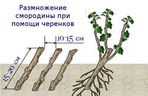 Размножение смородины красной, в том числе черенками, когда и как это лучше делать