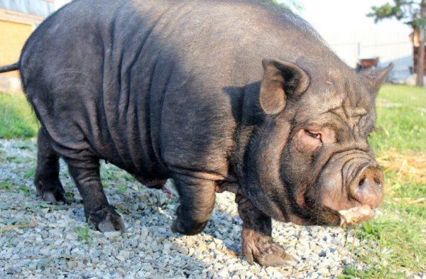 Вьетнамская вислобрюхая свинья: описание и характеристика породы, вес рожденного поросенка
