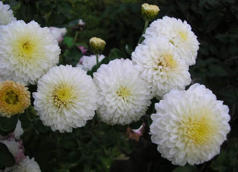 хризантема вышиванка