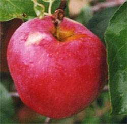 Колоновидная яблоня китайка красная: описание, фото, отзывы об устойчивом сибирском сорте