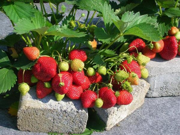 Садовая земляника — характеристика, польза и выращивание