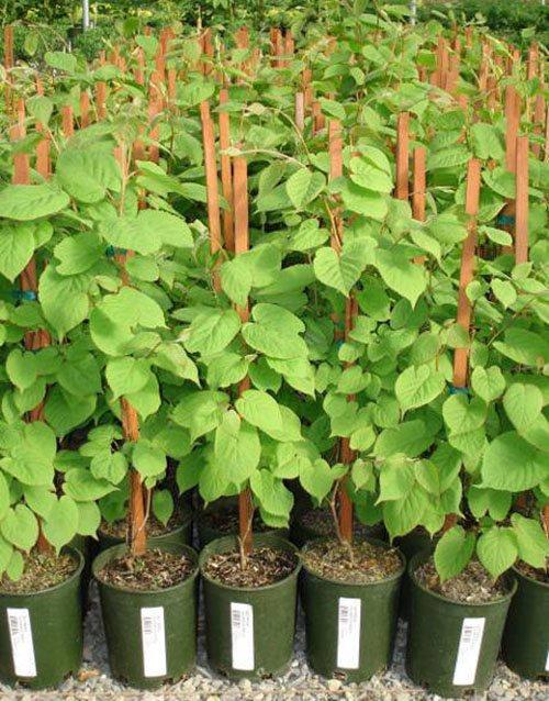 Актинидия – популярные сорта, выращивание
