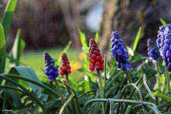 Мускари: синева волшебных колокольчиков в вашем саду